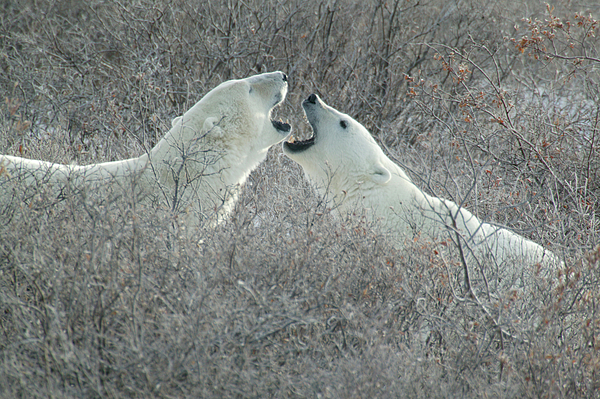 Polar Bears Jawing by Ralph Fahringer