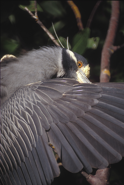 Yellow Crowned Night Heron by Ralph Fahringer